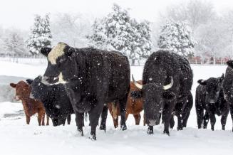 Новосибирские ученые обнаружили гены, которые могут отвечать за устойчивость скота к холодам