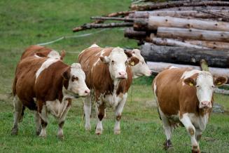 В сельхозорганизациях Смоленской области на 2,6% увеличилось производство молока