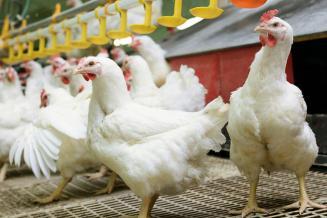 В России запатентуют отечественный кросс мясных кур «Смена 9»
