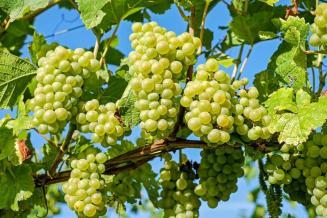 Более 20% виноградников Чеченской Республики заложили в 2020 году