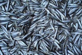 В 2020 году российские рыбаки добыли почти 5 млн т водных биоресурсов