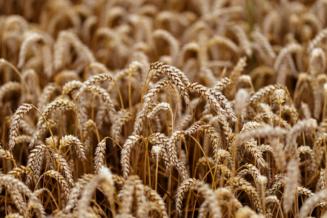 USDA снизил оценку урожая пшеницы в мире в 2020/21 году до 772,6 млн т