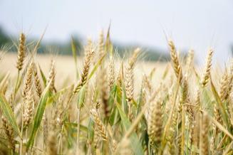 Челябинская область ориентирована на собственных производителей семян