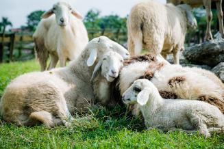 Всельхозорганизациях Курской области поголовье овец и коз выросло на 24,3%