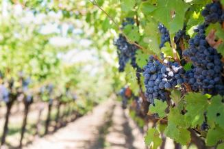 Урожай винограда в Крыму в 2020 году превысил 99 тыс. т