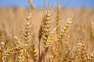 Кузбасс располагает запасами зерна вобъеме 977,4тыс.т