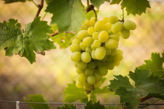 Крымский винодел возродил древние сорта винограда, некогда выведенные на полуострове