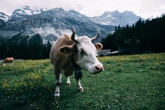 В Челябинской области в 2020 году выросло производство молока и свинины
