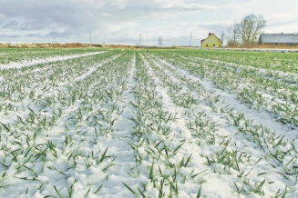 Озимыми зерновыми под урожай 2021 года в Калмыкии засеяно 221,9 тыс. га