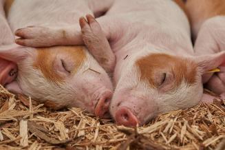 Новые ветправила по борьбе с АЧС требуют держать свиней без выпаса
