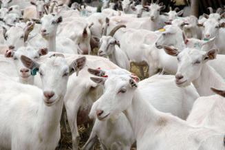 В сельхозорганизациях Кировской области поголовье овец и коз выросло вдвое