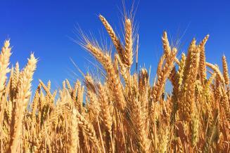 Минсельхоз США вновь сохранил прогноз по экспорту пшеницы из России