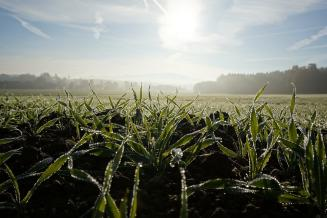 Около 80% посевов озимых зерновых находится в хорошем состоянии — глава Минсельхоза России