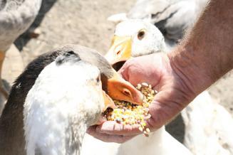 Рынок страхования рисков с господдержкой в российском птицеводстве вырос на 20%