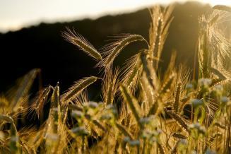 Российские власти могут отказаться от регулирования экспорта зерна