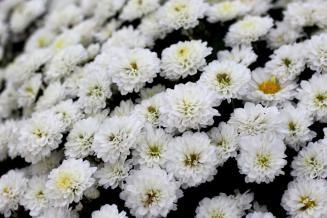 Хризантемы в саду. «Новая Голландия» реанимировала тепличный проект