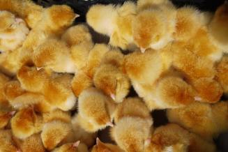 Облучение скорлупы куриных яиц пучком электронов улучшает здоровье цыплят — ученые