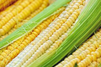 В России хотят нарастить производство отечественных гибридов кукурузы