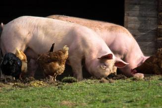 В Ивановской области на 15% выросло производство скота и птицы на убой