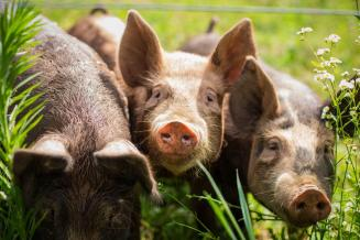 В Мордовии на8,5% увеличили производство скота и птицы на убой