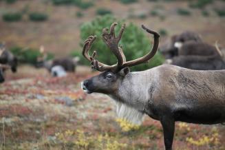 Ямал — единственный вРФ экспортер оленины встраны ЕС поитогам 2020года