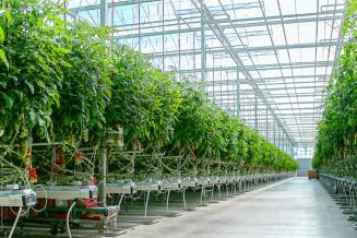 Новосибирская область — первая по производству тепличных овощей в Сибири