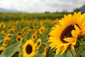 В I квартале продажи подсолнечника в Алтайском крае выросли в 2,4 раза