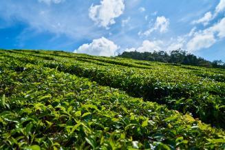 Единственный российский экспортер чая вдвое увеличит площадь плантаций за несколько лет