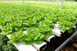 С начала года в кузбасских теплицах вырастили 6,1 тыс. т овощей