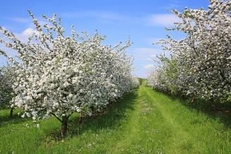 Ленинградская область планирует к 2023 году в 1,5 раза увеличить площадь плодовых садов