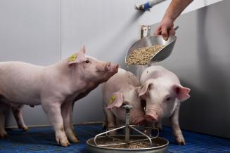 Китайские откормочные площадки начали раскупать урожай пшеницы для свиней и птиц