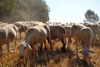 Более 2 млрд руб. направят на развитие овцеводства и козоводства в РФ в 2021 году