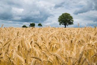 Слово о пшенице замолвим