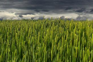 Минсельхоз США повысил прогноз по урожаю пшеницы в РФ до 86 млн т