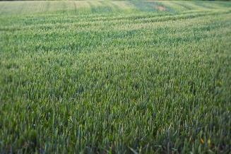 Аграрии ЕАО на треть превысили план сева пшеницы