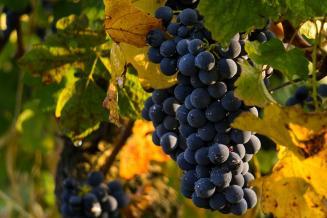 В Дагестане до конца года планируют заложить 893 га новых виноградников