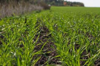 Волгоградские аграрии посеяли на 158,7% больше пшеницы, чем планировали