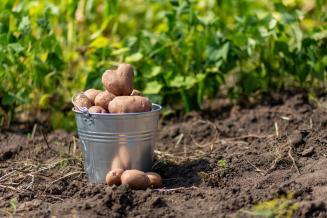 Новгородская область занимает первое место вСЗФО попосадке картофеля
