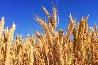 Экспортная пошлина нароссийскую пшеницу с17июня составит 33,3долл.США/т