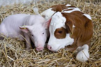 В I полугодии 2021 года смоленские аграрии произвели 26,6 тыс. т скота и птицы на убой