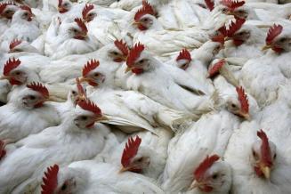 Нижегородские сельхозорганизации нарастили выпуск скота и птицы на убой на 8,4%