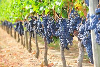 Русский стал официальным языком Международной организации по виноградарству и виноделию