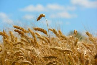Пошлина на экспорт пшеницы из России с 21 июля составит 35,2 долл. США/т