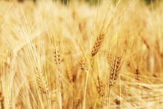Пошлина на экспорт пшеницы из России с 4 по 10 августа составит 31,4 долл. США/т