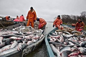 Вылов тихоокеанских лососей в 2021 году вырос в 2,4 раза
