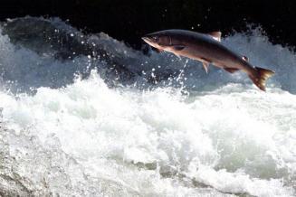 Вылов лосося в России сначала года вырос на2тыс.т