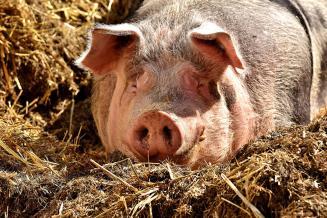 Производство свинины в Китае за первое полугодие 2021 года выросло на 35,9%