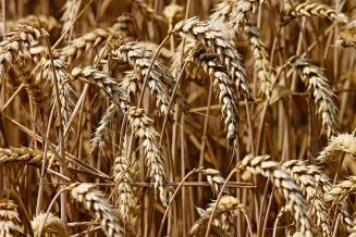 Черноморские страны наращивают производство пшеницы