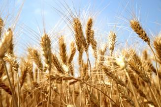 В Татарстане уборка зерновых и зернобобовых культур подходит к завершению