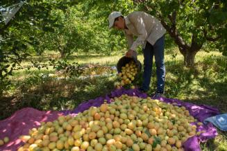 В Дагестане собрано 87,8тыс.тплодов с10,7тыс.га